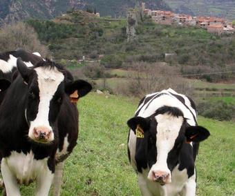 vaques.jpg